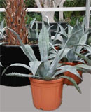 Agave azul grey-blue 80, 90, 120 см