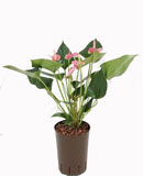 Anthurium pink champion 40 см