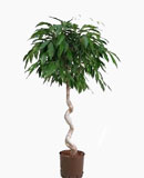 Ficus amstel king Stem corkscrew 120 см
