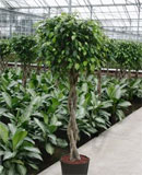 Ficus benjamina Stem braided 125, 160 см
