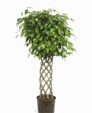 Ficus benjamina Stem hedge 120, 170 см
