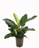 Philodendron imperial green 55 см