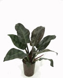 Philodendron imperial red 60 см