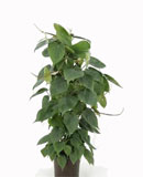 Philodendron scandens Column 60, 80 см