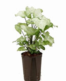 Syngonium white butterfly 30 см