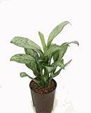 Aglaonema christina 45 см